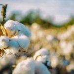 Was ist Organic Cotton und was bedeutet es für die Umwelt?